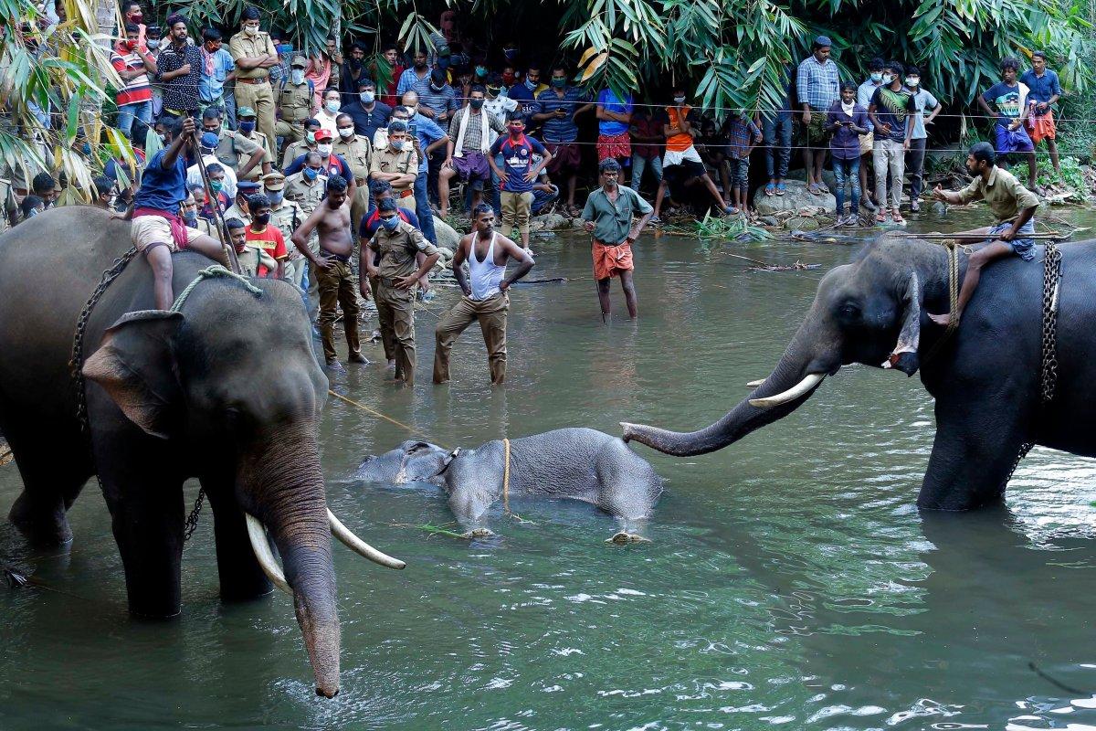 [Elefanta grávida morre após comer fruta envenenada ]