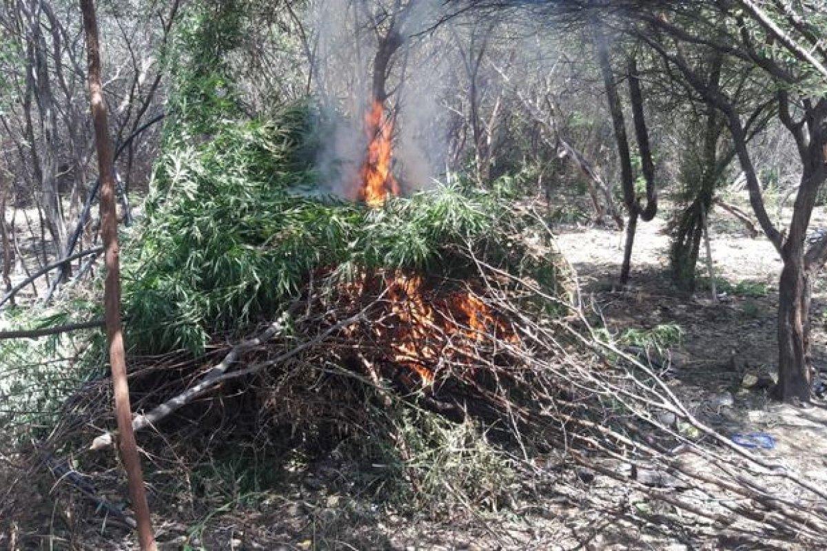 [PM incinera plantação de maconha com mais de 3 mil pés ]