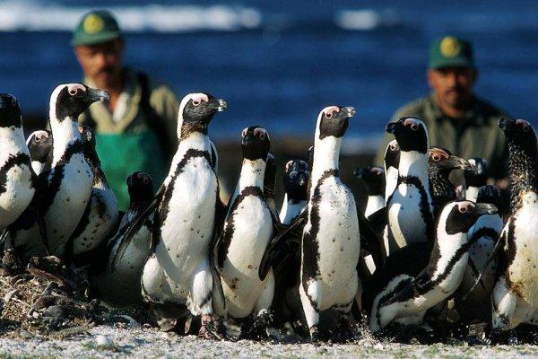 [Abelhas matam mais de 60 pinguins ameaçados de extinção na África do Sul]